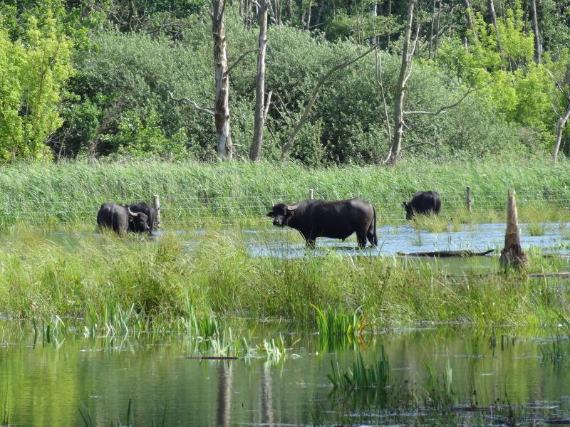Wasserbüffel im Hochwasser, Bild: G. Dohme-Wigger