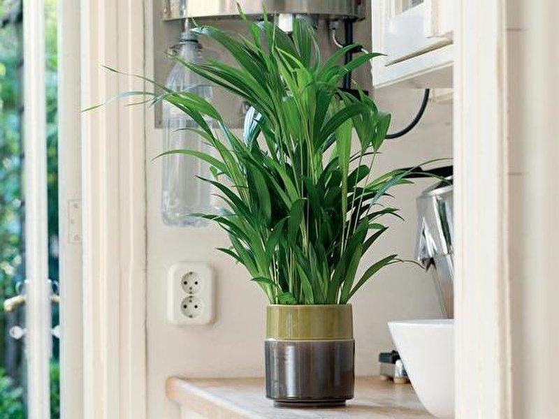 kentia palme pflegeleichter exot. Black Bedroom Furniture Sets. Home Design Ideas