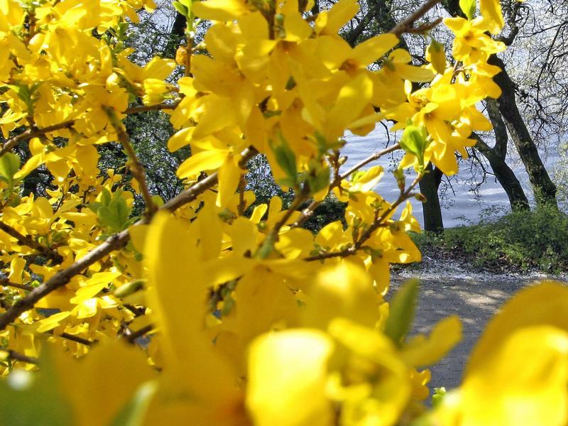 Forsythien vermehren pflanzen zur ckschneiden for Berlin pflanzen