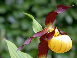 Frauenschuh Die Orchidee Fur Fensterbank Und Garten Berlin De