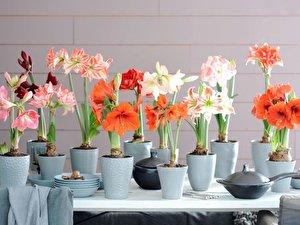 amaryllis so bl ht der ritterstern als zimmerpflanze. Black Bedroom Furniture Sets. Home Design Ideas