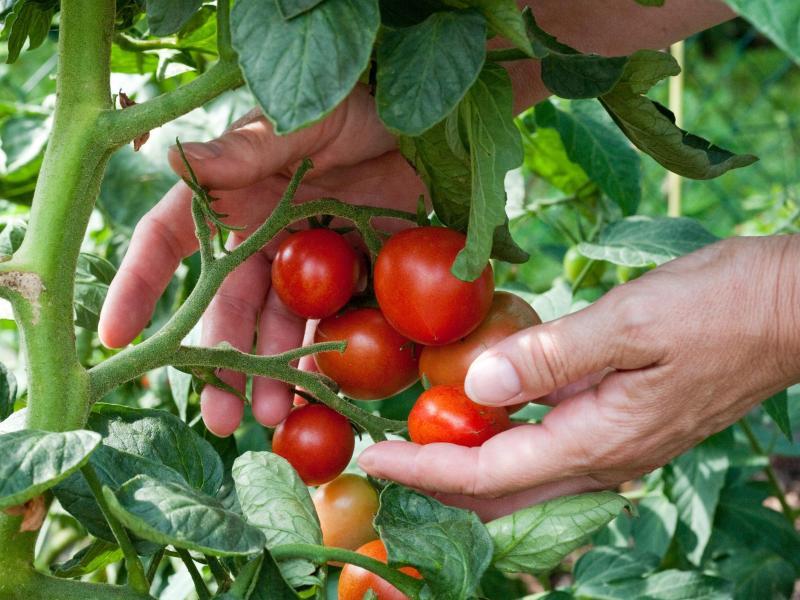 tomaten selbst anbauen f nf tipps f r pr chtige fr chte. Black Bedroom Furniture Sets. Home Design Ideas