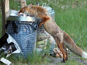 Merveilleux Fuchs Sucht Nahrung In Abfalltonnen