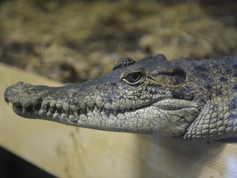 Krokodil Berlin