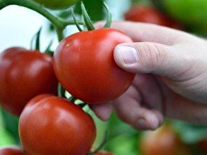 tomatenpflanzen aus samen ziehen anleitung und tipps. Black Bedroom Furniture Sets. Home Design Ideas
