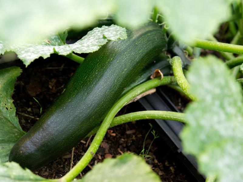 zucchini vergiftung wann man das gem se nicht essen sollte. Black Bedroom Furniture Sets. Home Design Ideas