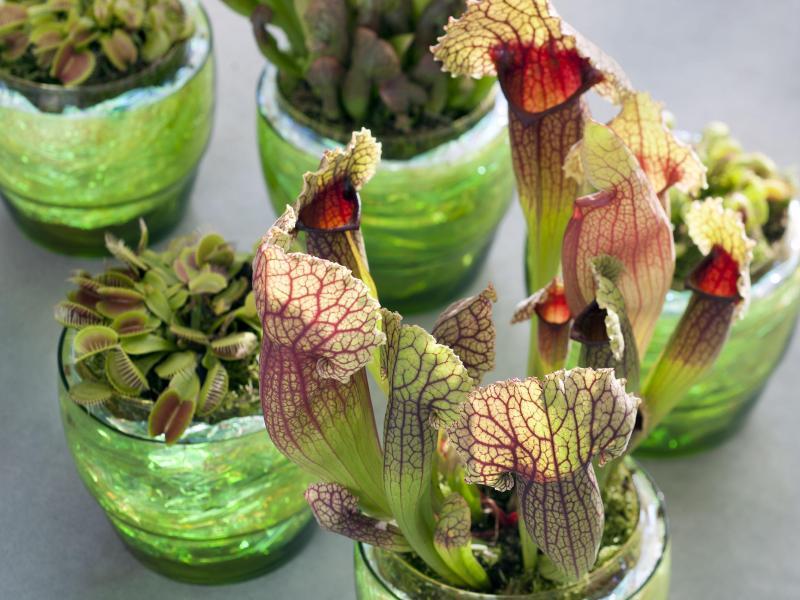 fleischfressende pflanzen tipps zu standort und pflege. Black Bedroom Furniture Sets. Home Design Ideas