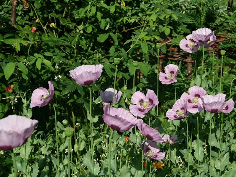 Pflanzen in shakespeares welt for Berlin pflanzen