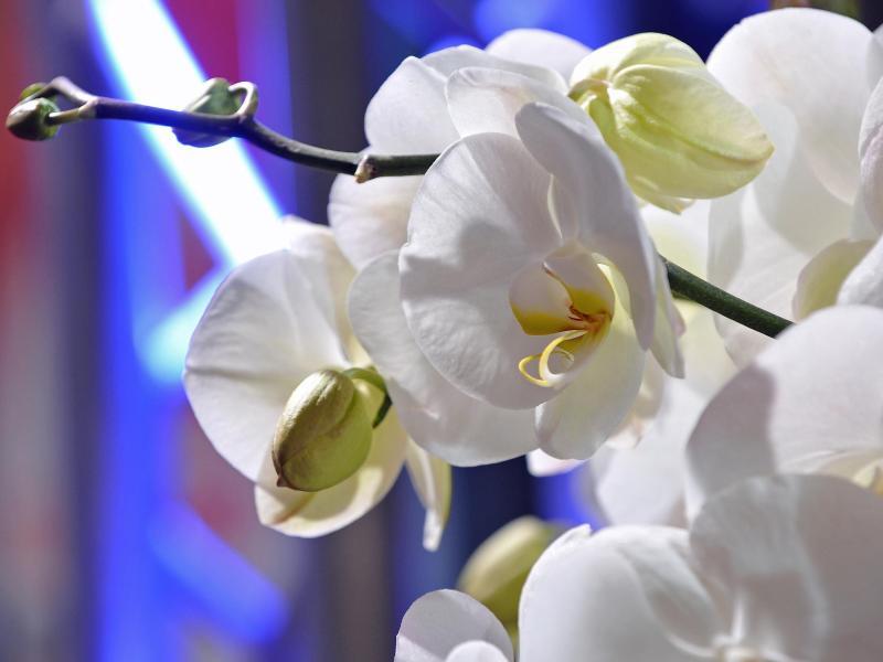 orchideen f r lange bl te richtig pflegen. Black Bedroom Furniture Sets. Home Design Ideas