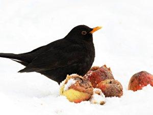 Vogel Futtern Amsel Und Rotkehlchen Bevorzugen Obst Berlin De