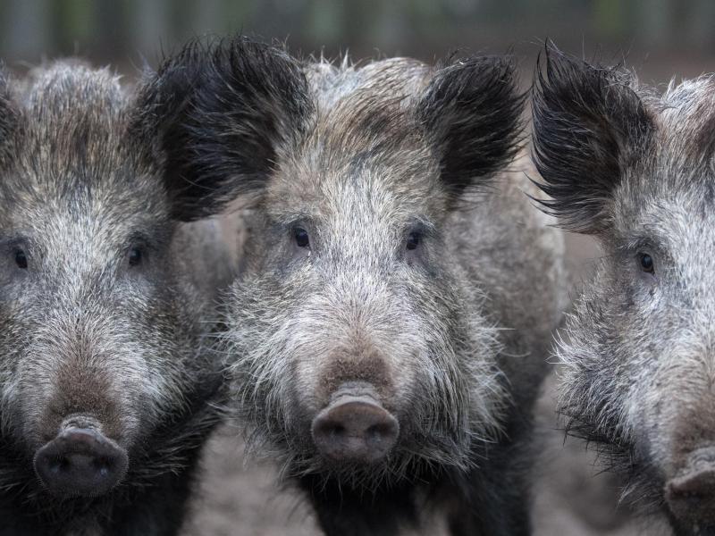 Schweinepest: Verwaltung warnt vor Fleisch und Wurst - Berlin.de