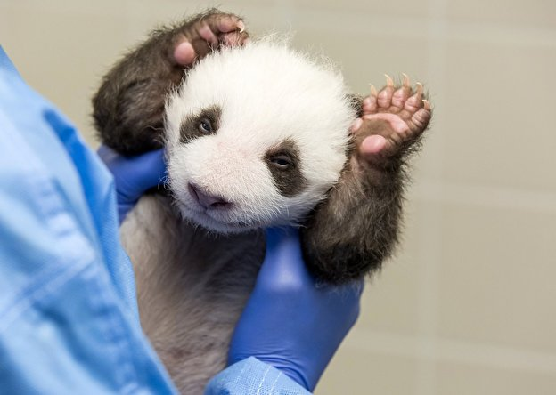 Image result for germany panda cubs open eyes