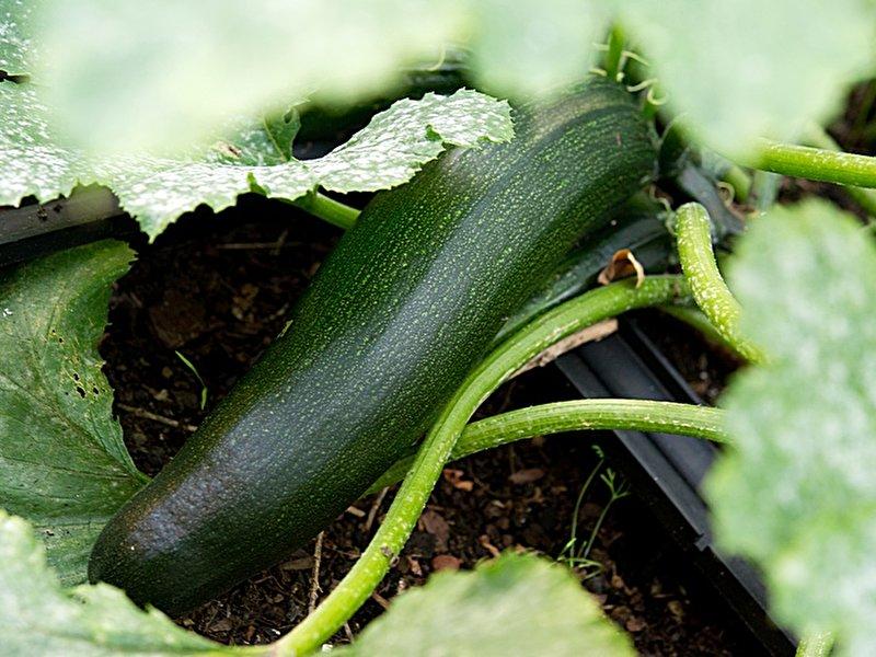 zucchini neue sorte bringt abwechslung. Black Bedroom Furniture Sets. Home Design Ideas