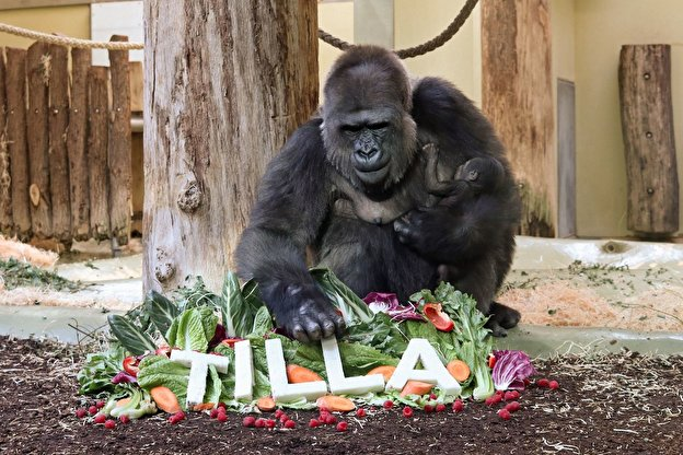 Gorilla lady Bibi suckles baby Tilla at Berlin Zoo.
