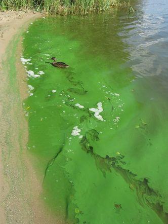 Schlierenbildende Cyanobakterien an der Wasseroberfläche in der Unterhavel